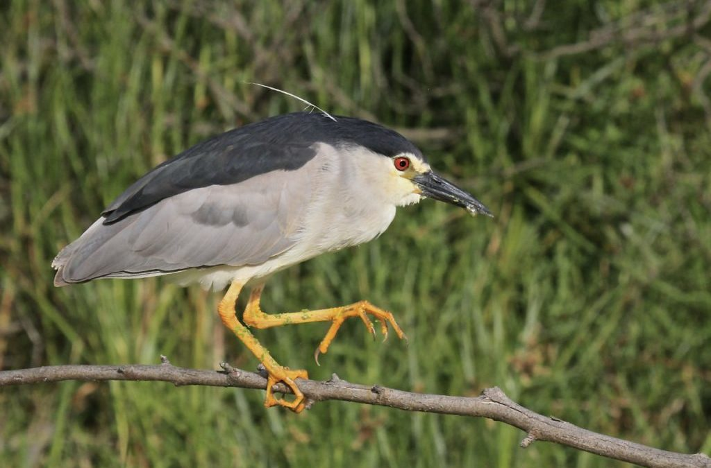 Nature's Corner –  Black-crowned night heron is trying to catch a dragonfly