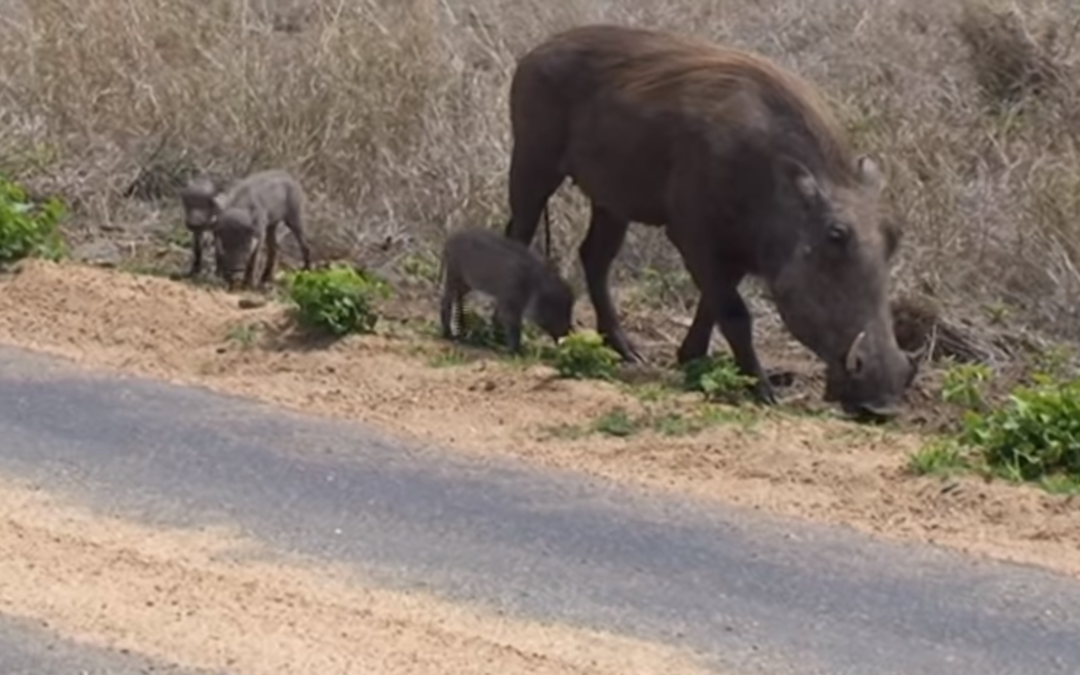 Nature's Corner – Tiny warthogs munch noisily next to their mothers
