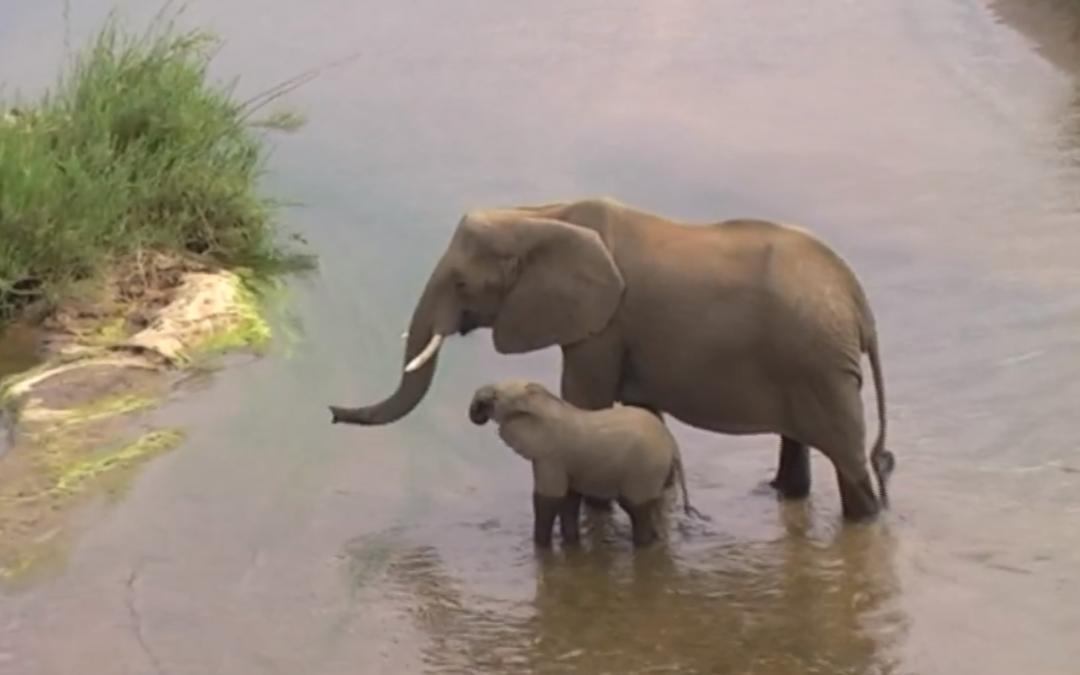Nature's Corner – Elephant calf explores Olifants River