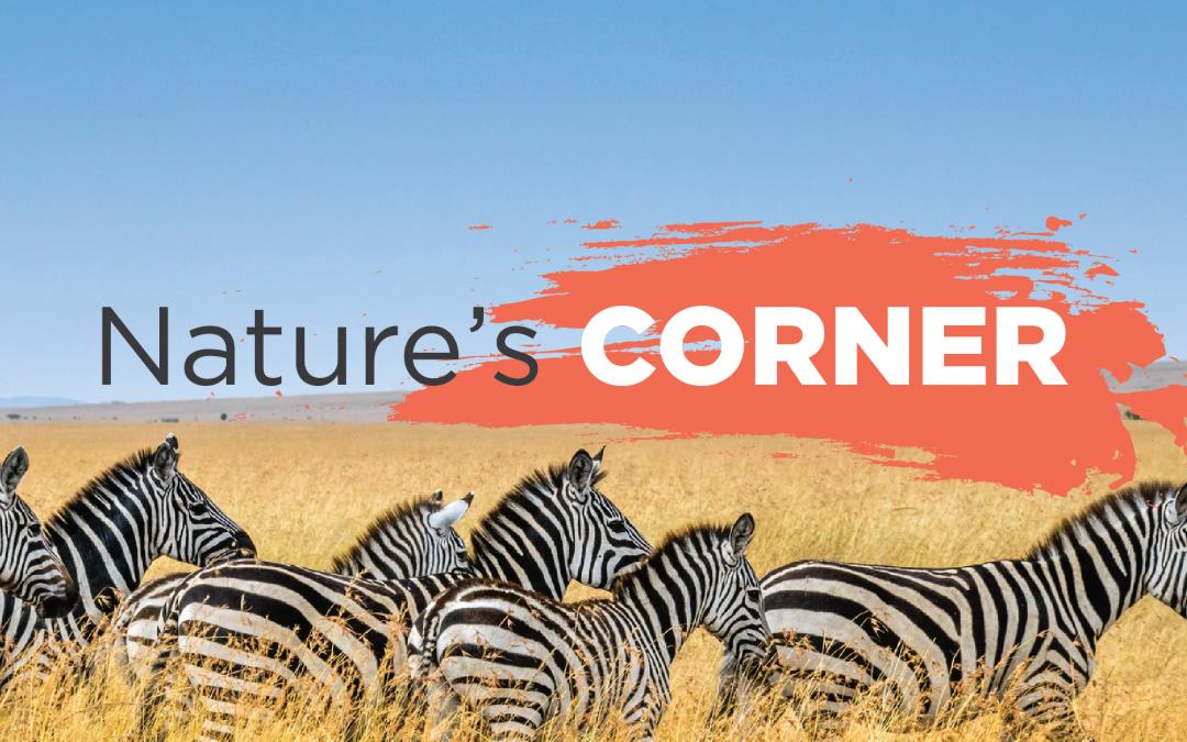 Nature's Corner – The flashy klipspringer