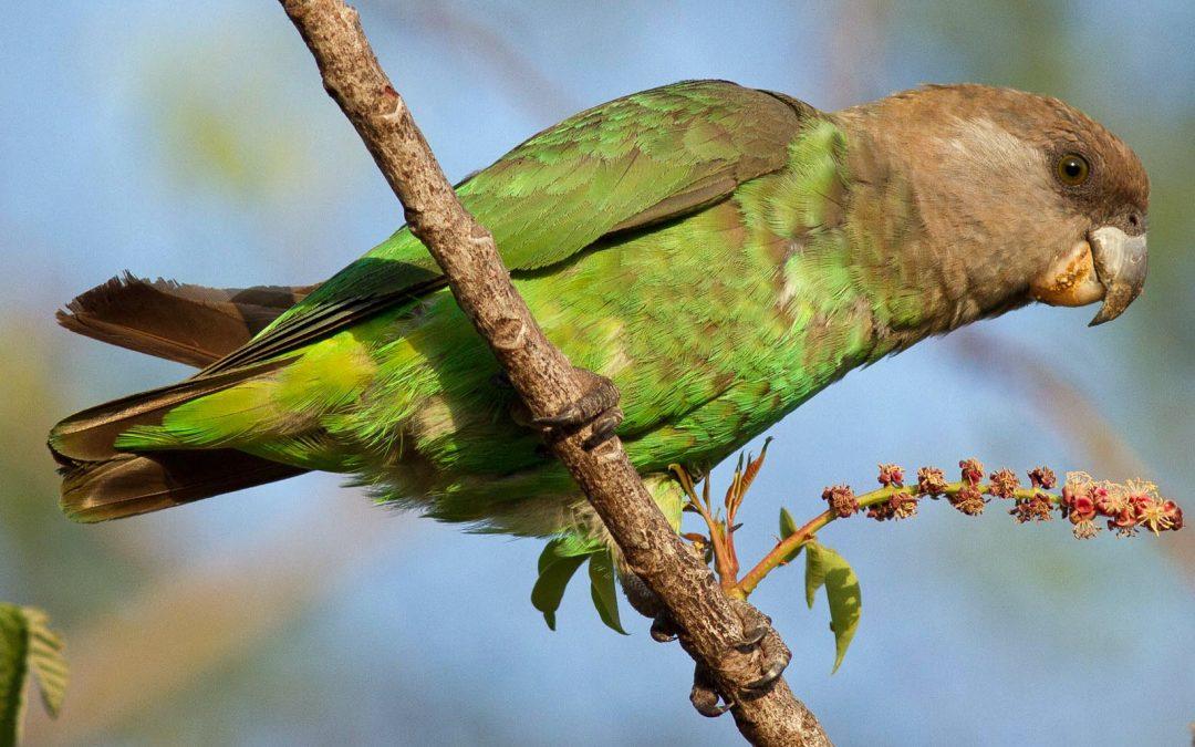 Nature's Corner – Brown-headed parrot
