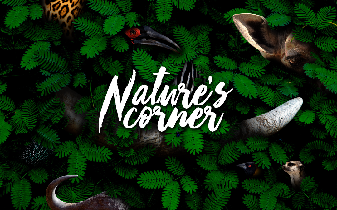 Nature's Corner – Jacanas and other waterbirds